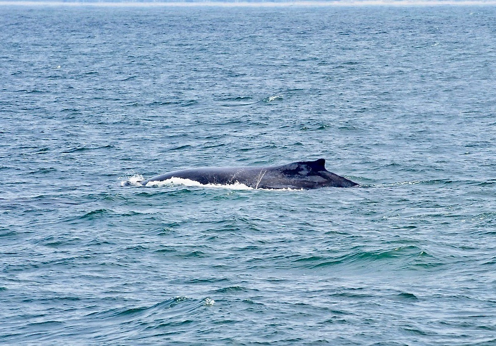 The dorsal fin of a humpback whale above the surface of the water in Monterey Bay