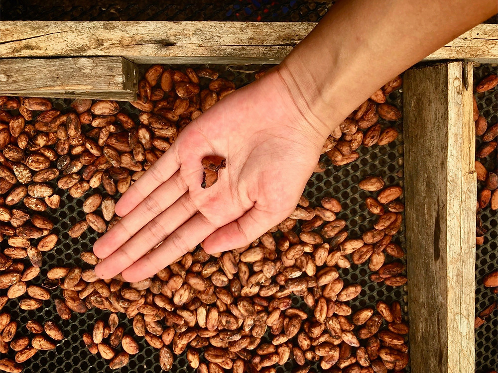 Roasted cocoa beans whose papery shells have been blown away