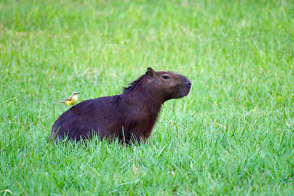A capybara grazes on grass as a small yellow bird is perched on its back