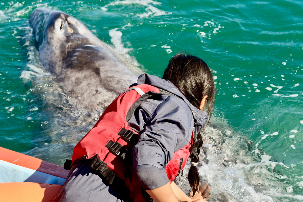 Eryn leans over from the side of a boat to reach out to a baby whale at the surface of the water