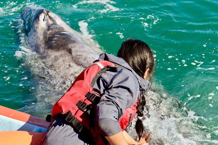 Eryn leans over the side of a boat to touch a grey whale at the surface of the water in Baja California, Mexico