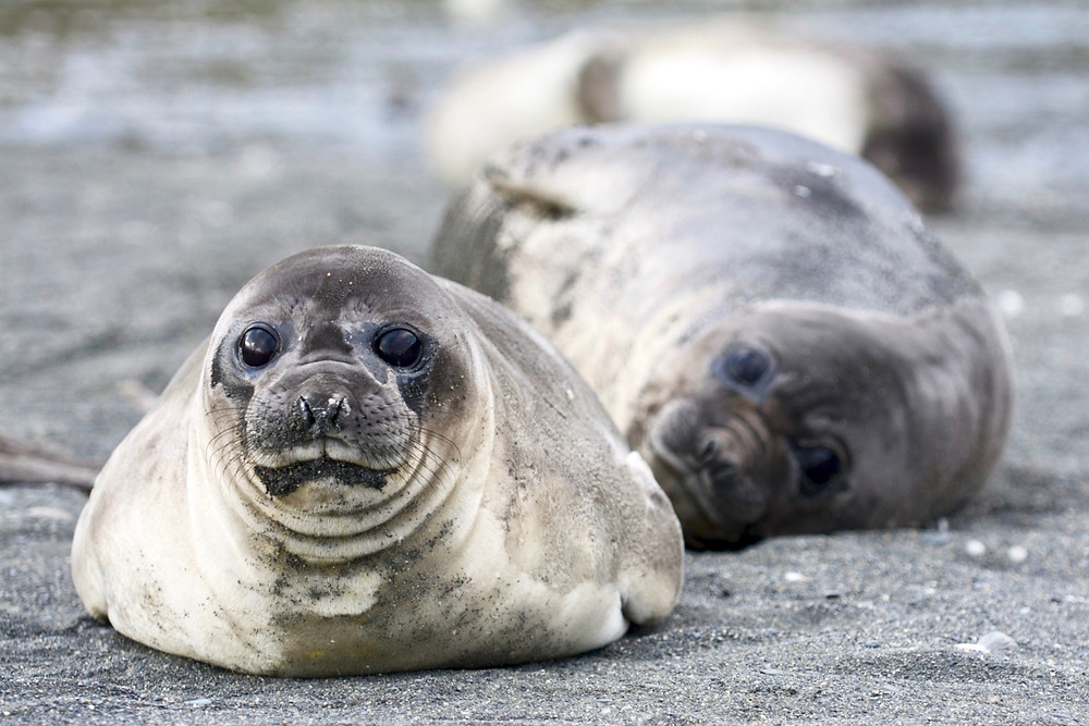 Two elephant seal weaners laying in the black sand looking straight at the camera in South Georgia