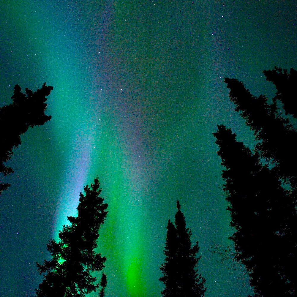 A green and purple sky filled with streaks of the Northern Lights behind the silhouettes of trees