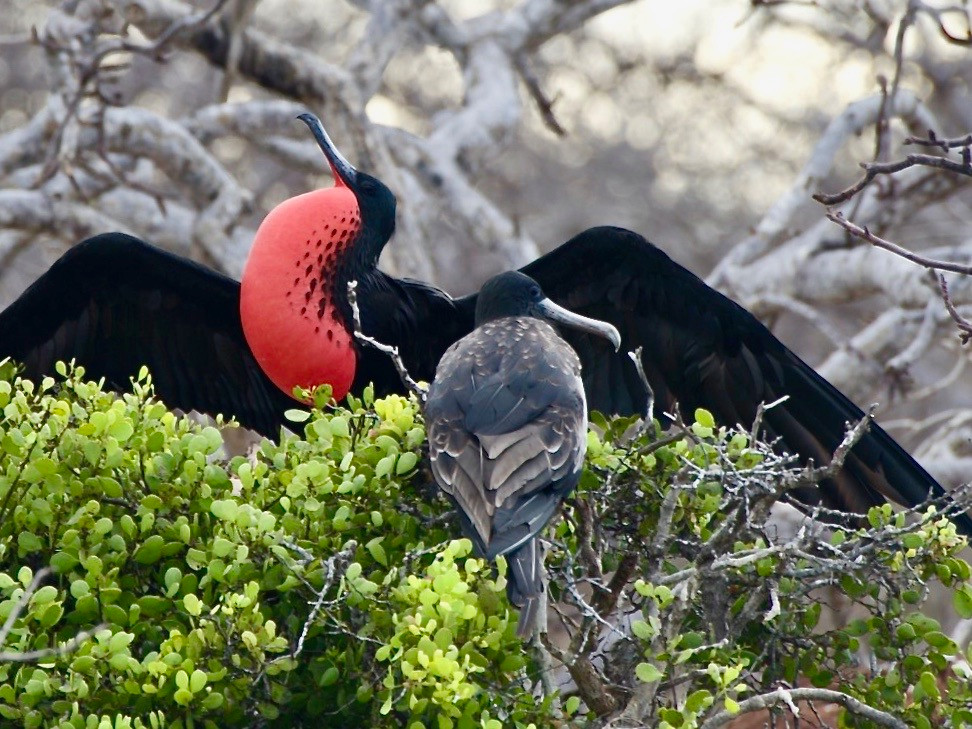 A male frigate bird with his inflated red throat sac spreading his wings in pride to show off his new partner