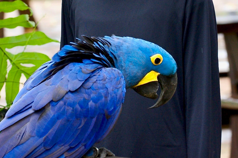 Blue the hyacinth macaw displaying his bright blue and yellow feathers