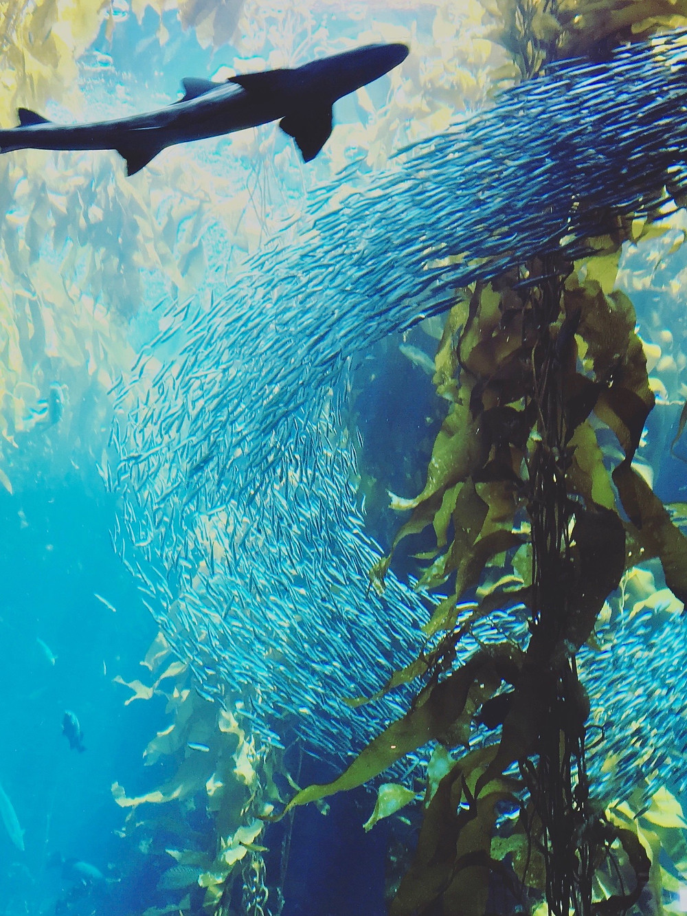 A shark swimming by a school of small fish in a kelp-filled tank in the Monterey Bay Aquarium