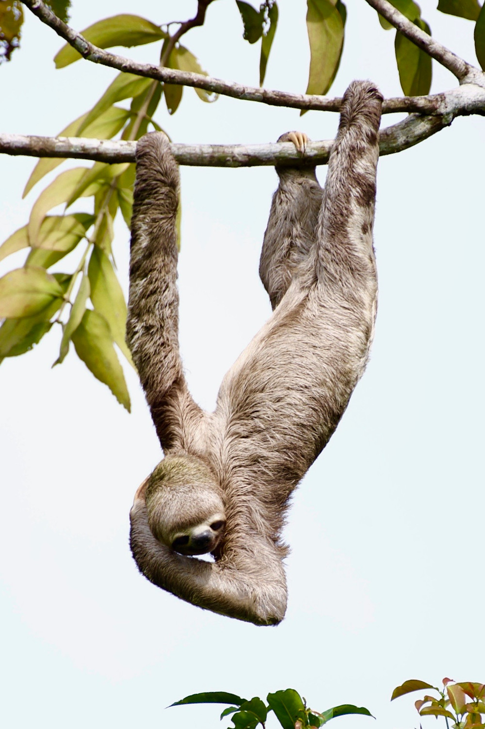 A three-toed sloth using three limbs to hang from a tree branch in the Amazon Rainforest while it scratches its head
