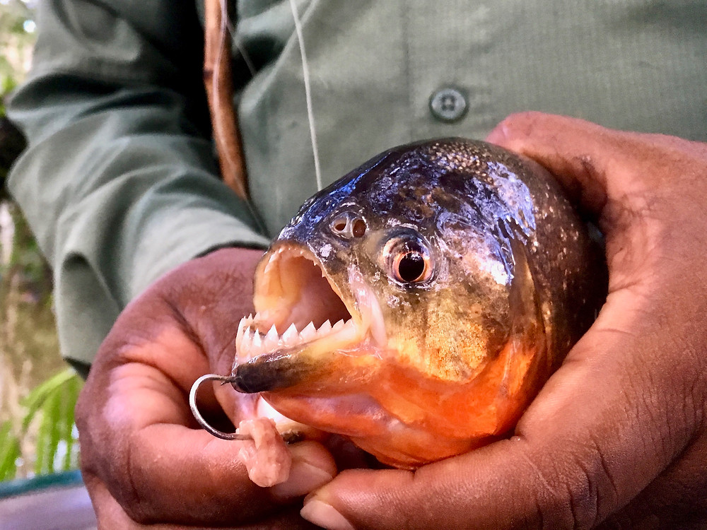 The hands of our naturalist guide holding a piranha to reveal its sharp teeth with a fishing hook