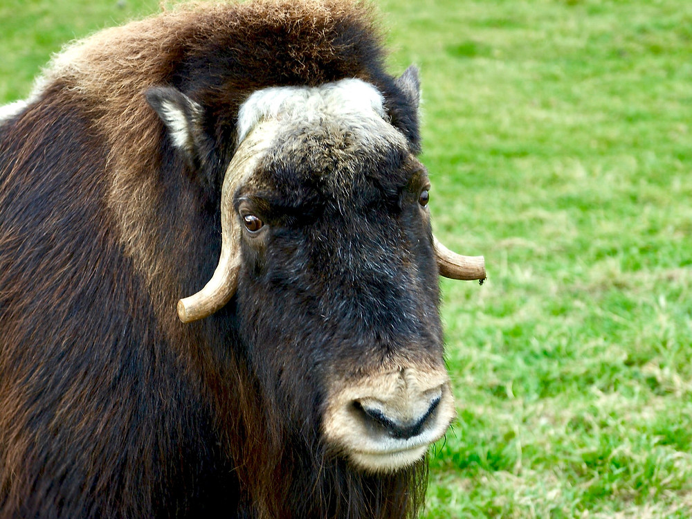 A musk ox facing the camera in front of green grass at a musk ox farm near the Alaska Highway