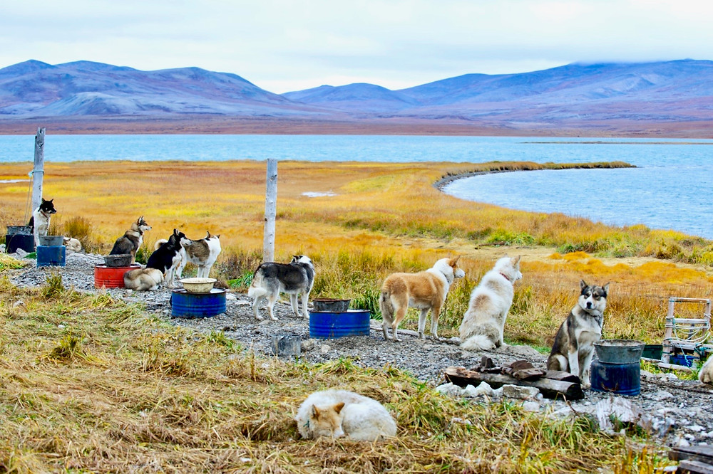 A group of dogs line up before the the scenery of yellow grass, blue seas, and purplish mountains at Yanrakynnot, Russia