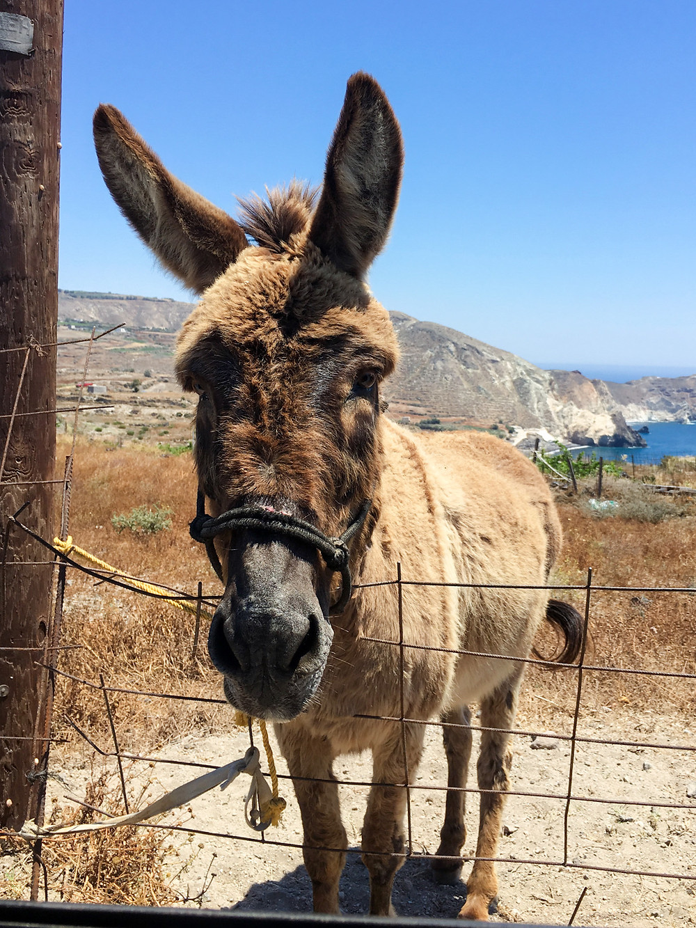 A donkey with its head leaning over a fence in Santorini, Greece