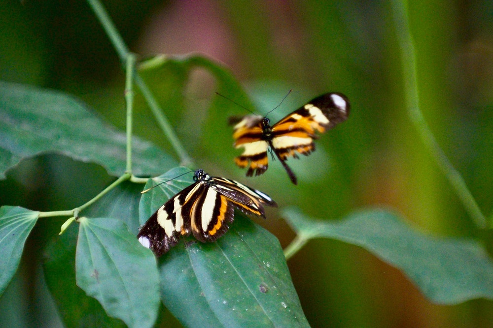 Two orange butterflies flutter gracefully among dark green jungle foliage