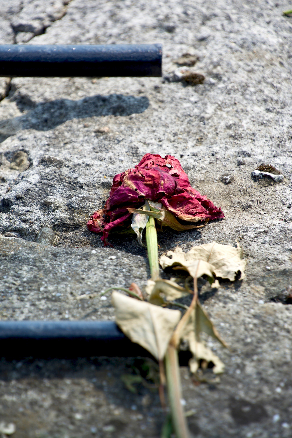 A wilted rose on concrete left behind by travelers at Auschwitz in Poland