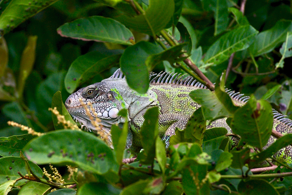 A green iguana camouflages rather successfully in the Pantanal greenery