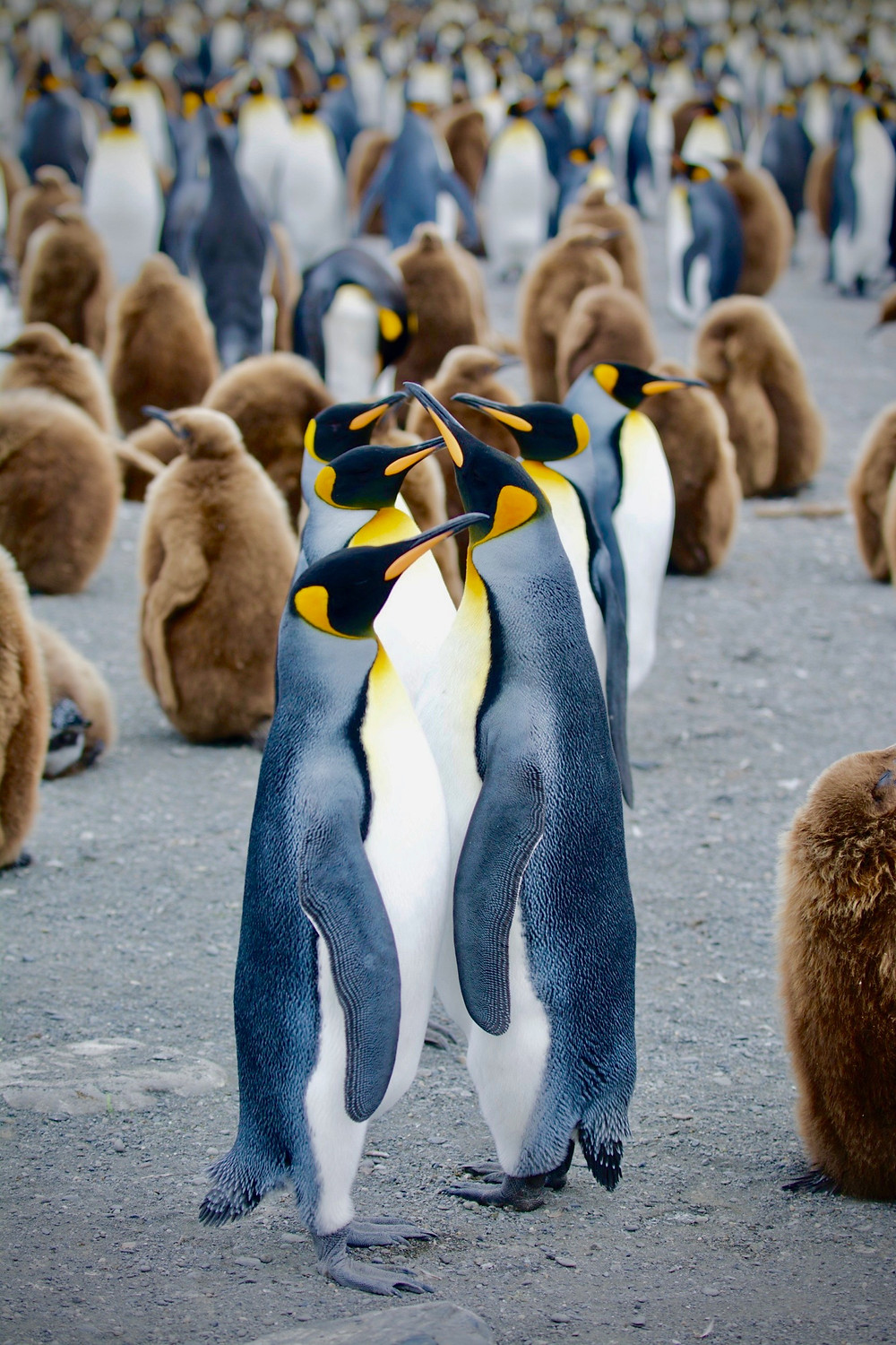 Five king penguins stand in a row before a mass of brown chicks and other penguins of the colony at South Georgia