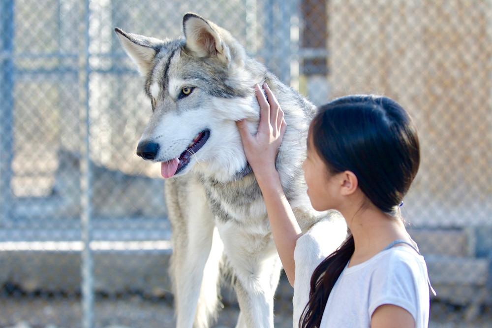 Eryn standing by a grey wolf with her hand at its cheek in a wolf sanctuary in California