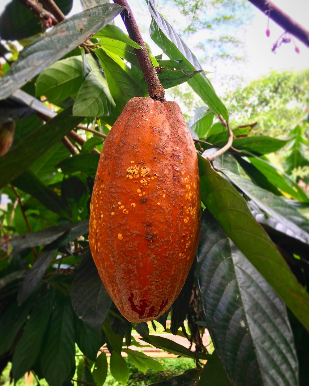 An orange cacao pod hanging in a cacao tree