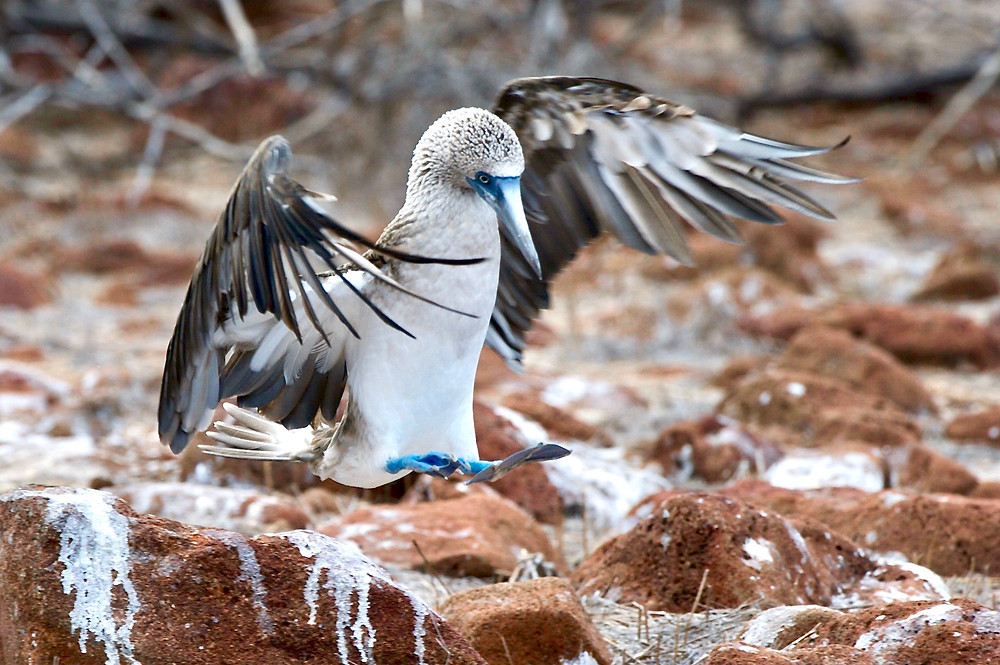 A blue footed booby about to land on the red colored rocks of the environment