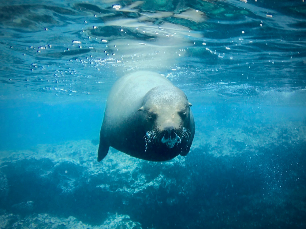 A sea lion blows bubbles through its nose with its eyes closed as it swims by