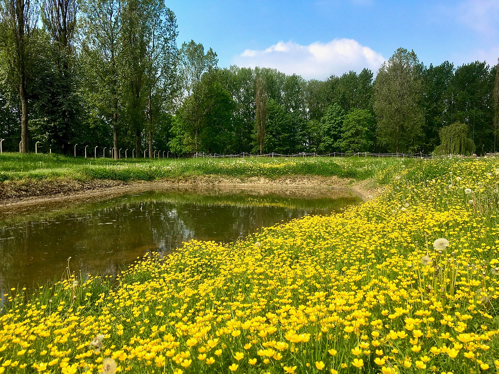 Trees and meadow of yellow flowers and dandelions surrounding a pond at Auschwitz II in Poland