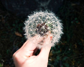 dandelion, make a wish, meditation, healing with nature