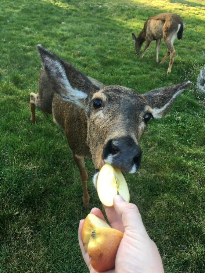 Yes you can feed the Deer Apples