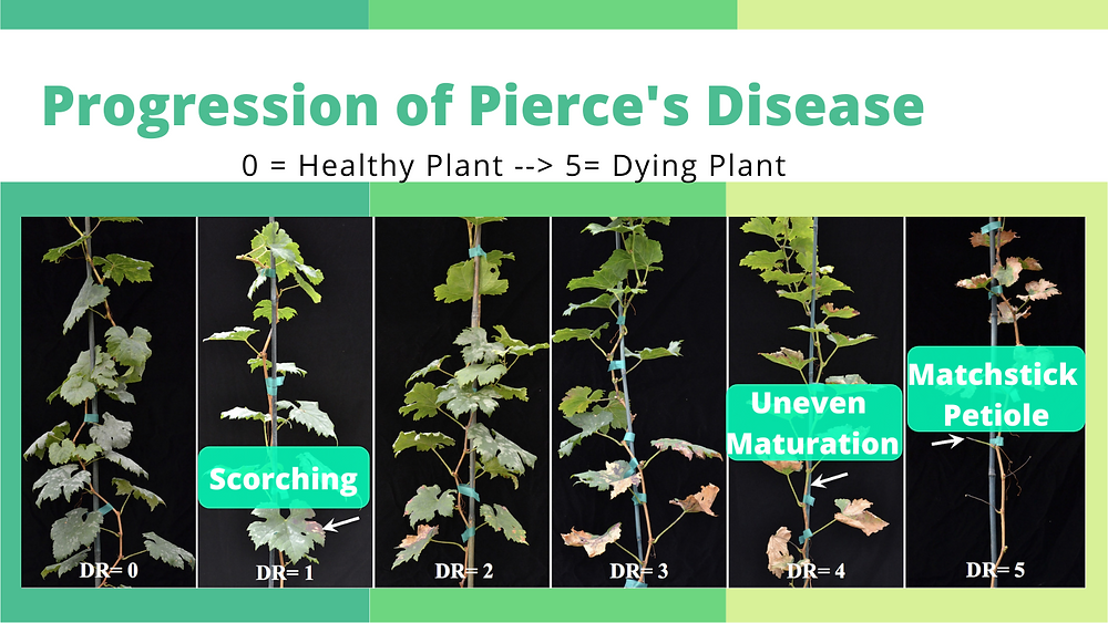 Picture of the progression of Pierce's Disease in Grapevine. Image shows a healthy grapevine at disease rating of 0 and a dead or dying grapevine weeks after it was inoculated with the plant pathogen X. fastidiosa
