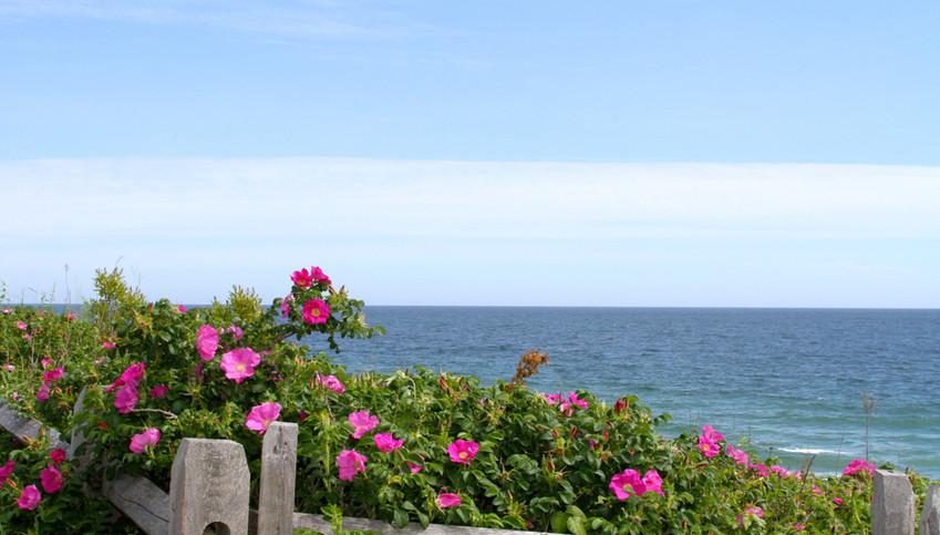 Cape Cod National SeaShore Roses.jpg