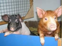 Pigs at East Links.jpg