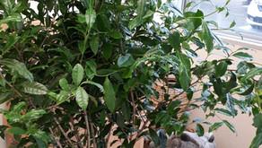 茶の木とカエル