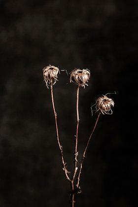 Straw Flower Sisters