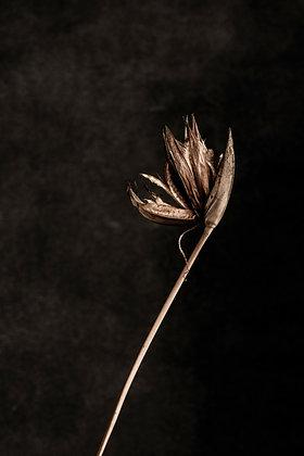 Kangaroo Grass Flower