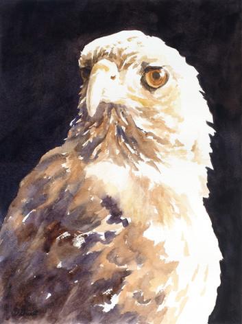 D.D. the Hawk
