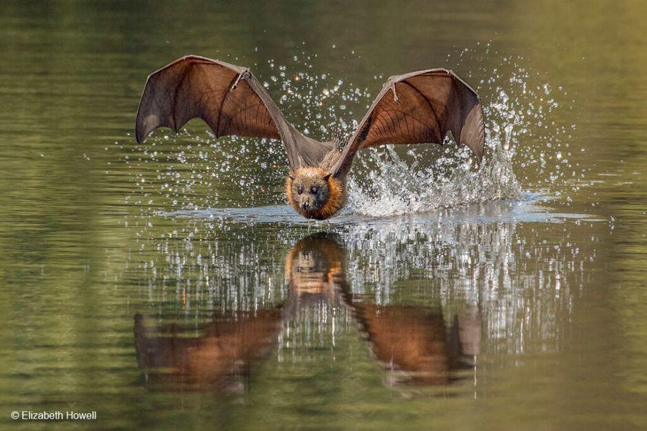 Kata Flying Fox memiliki arti Rubah Terbang