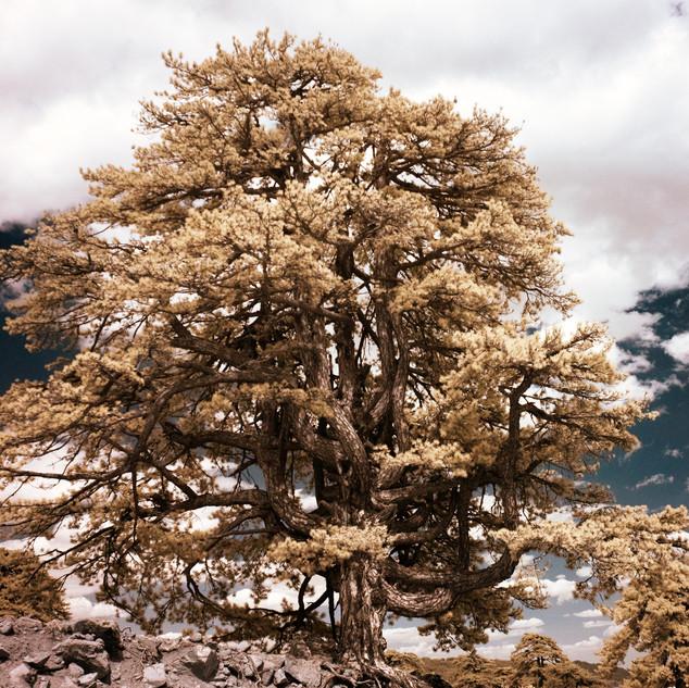 Lone Tree IV