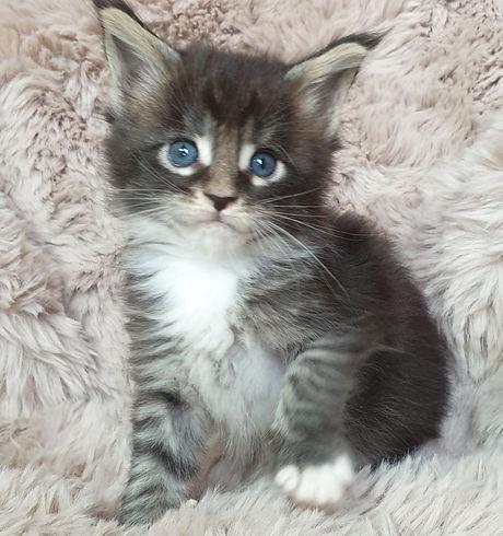 Felina black tabby white.jpg