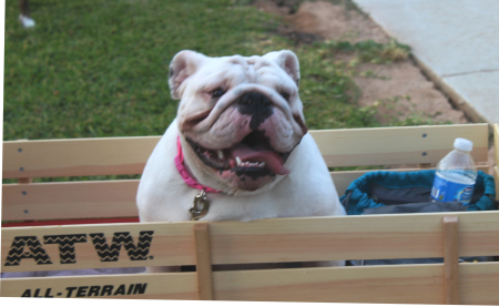 bull dog in wagon