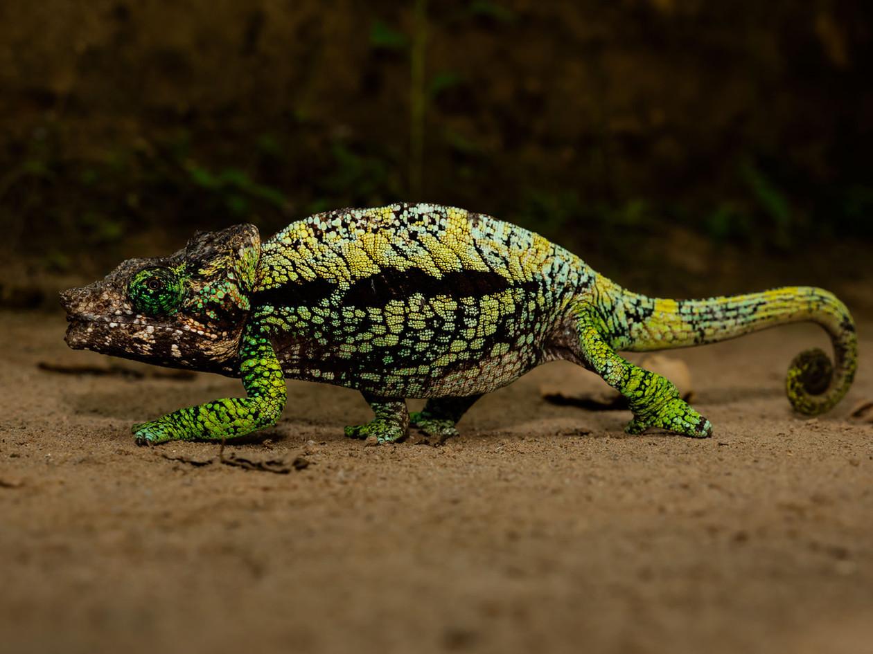 greenchameleonwalking_32190714608_o.jpg