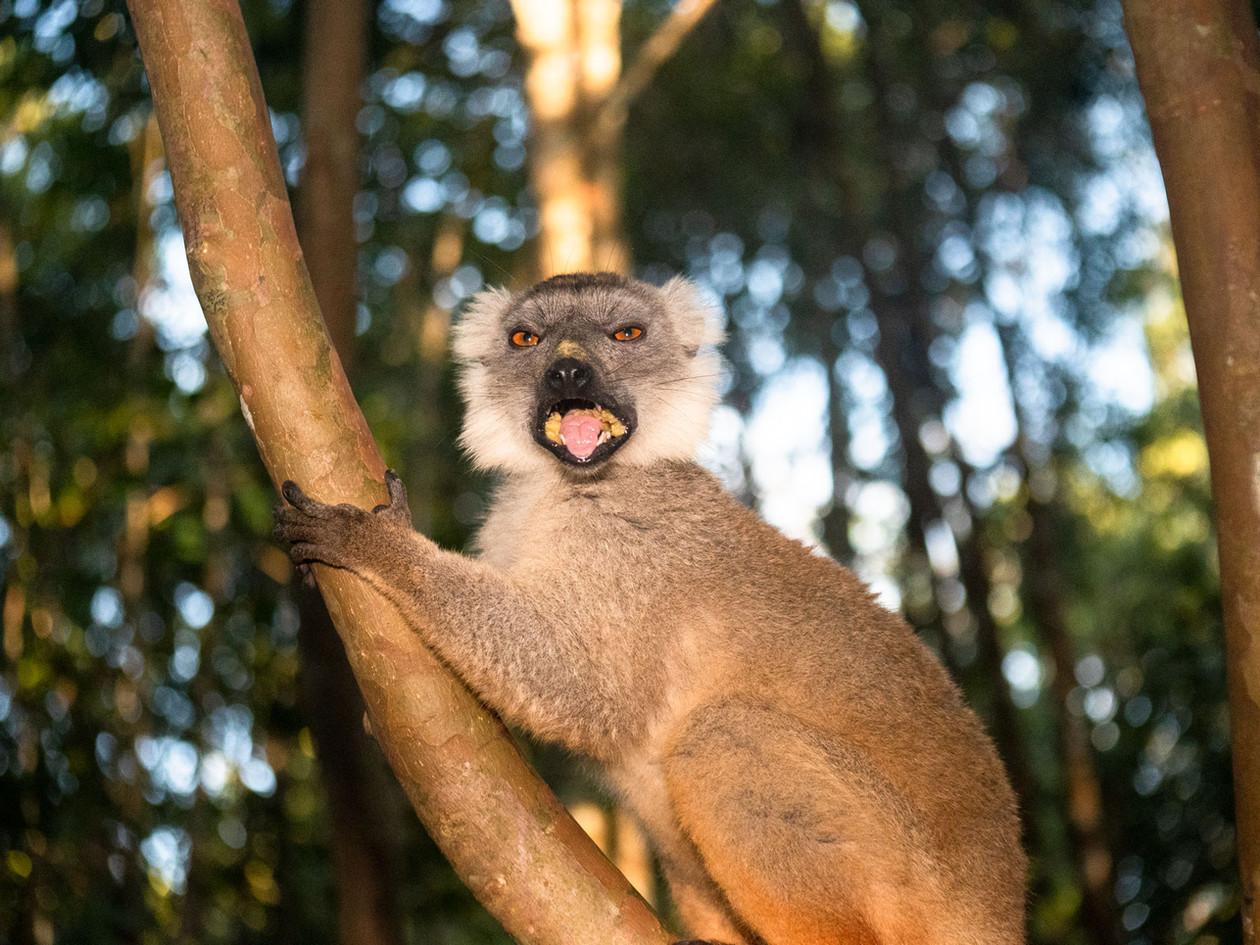 hangry-lemur_32190717028_o.jpg