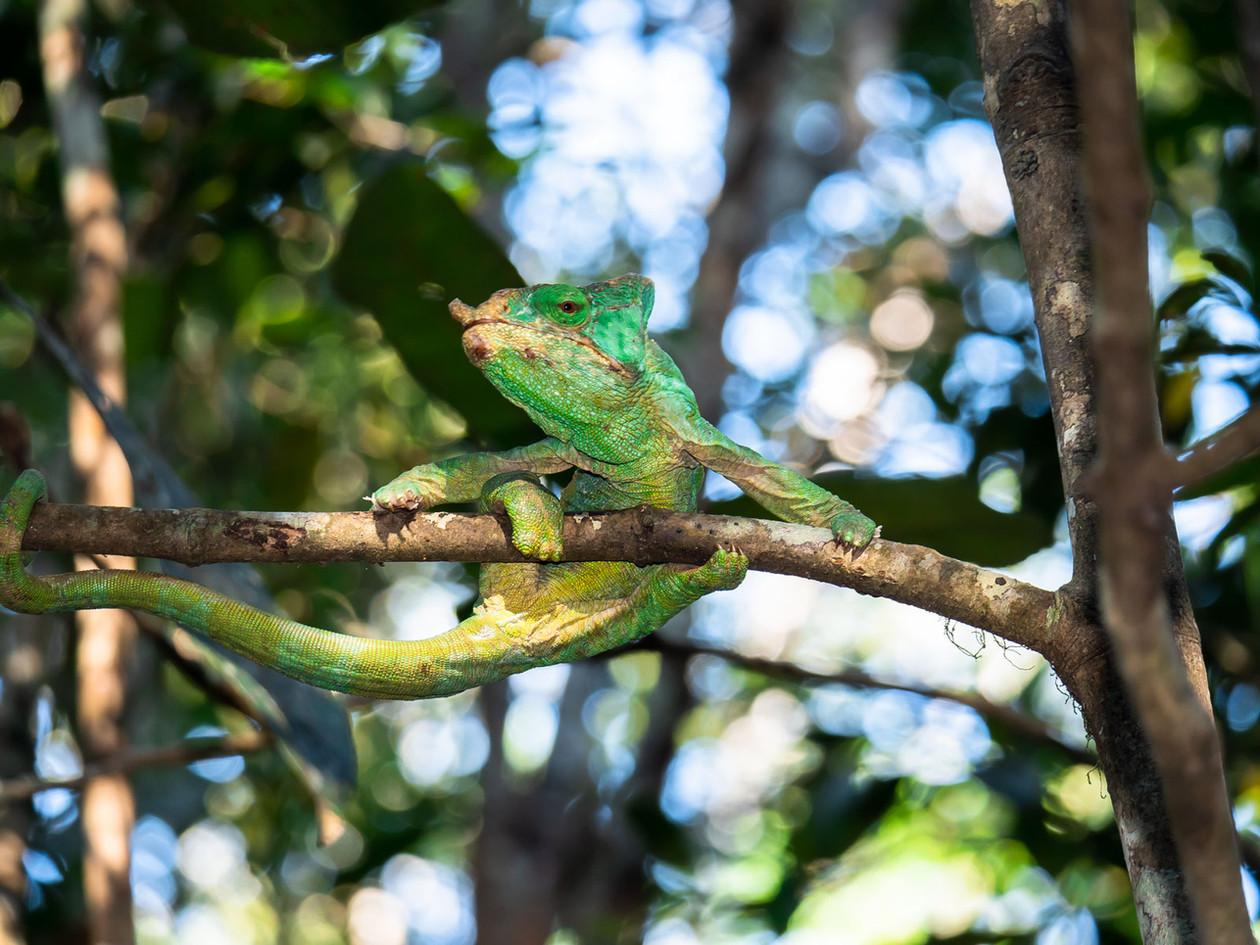 chameleonclimbing_46012116262_o.jpg
