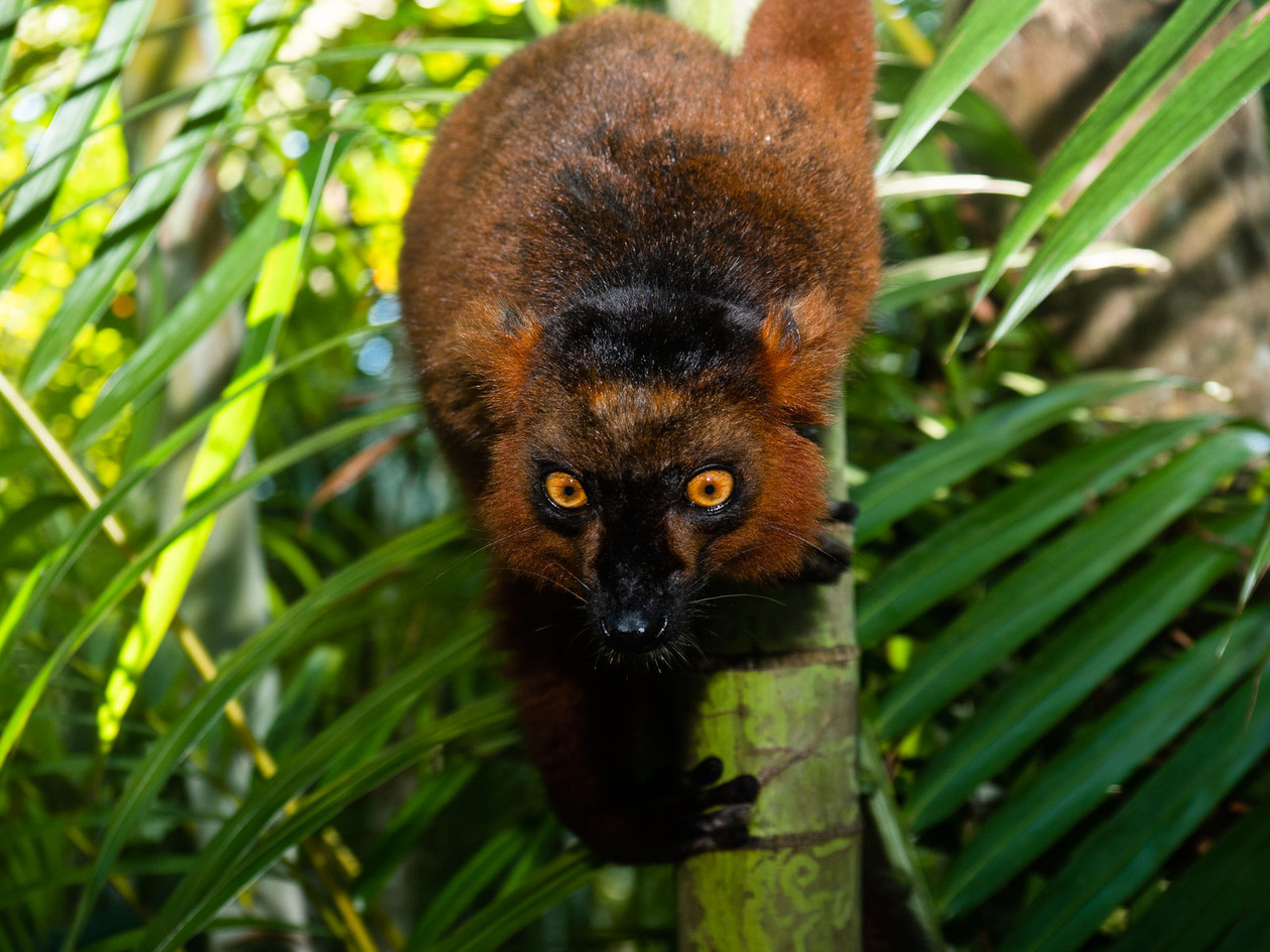 brown-lemur-close-up_32190715578_o.jpg