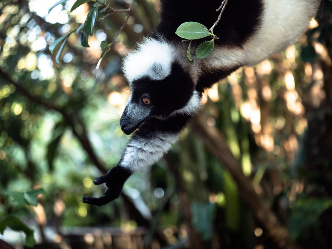 reaching-lemur_44246029490_o.jpg