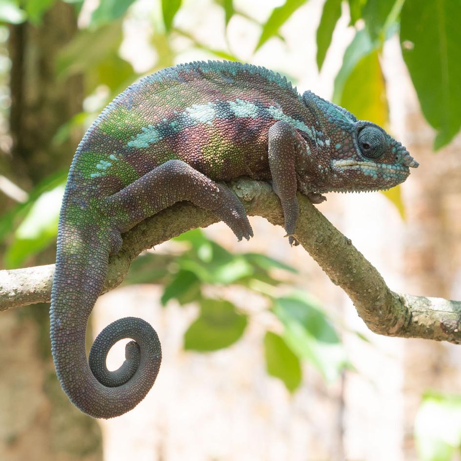 chameleoncurlytail_45150237555_o.jpg