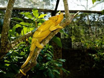 yellowchameleon_46062046931_o.jpg