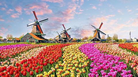 holandia-krajobraz-z-wiatrakami-i-tulipa