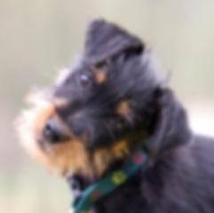 Terrier - Copy.jpg