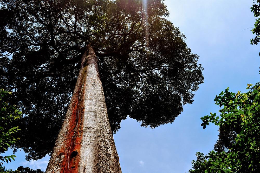 large tree on pulau ubin