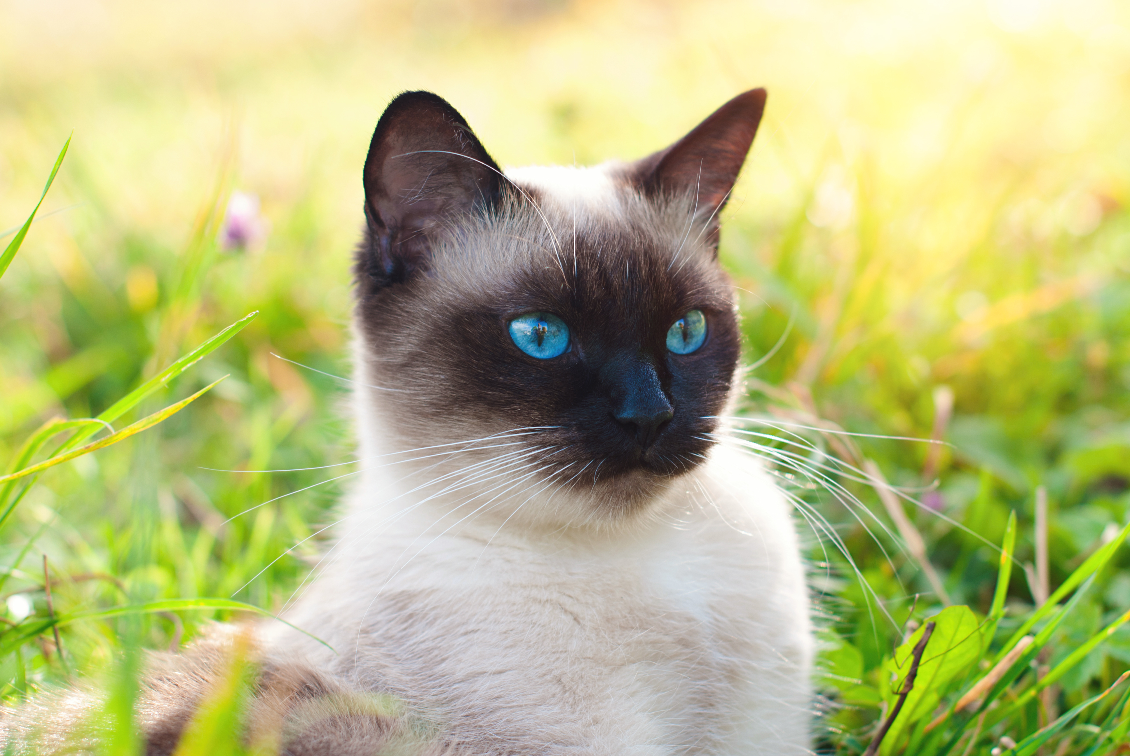 Beautiful Siamese Purebred Cat with Blue