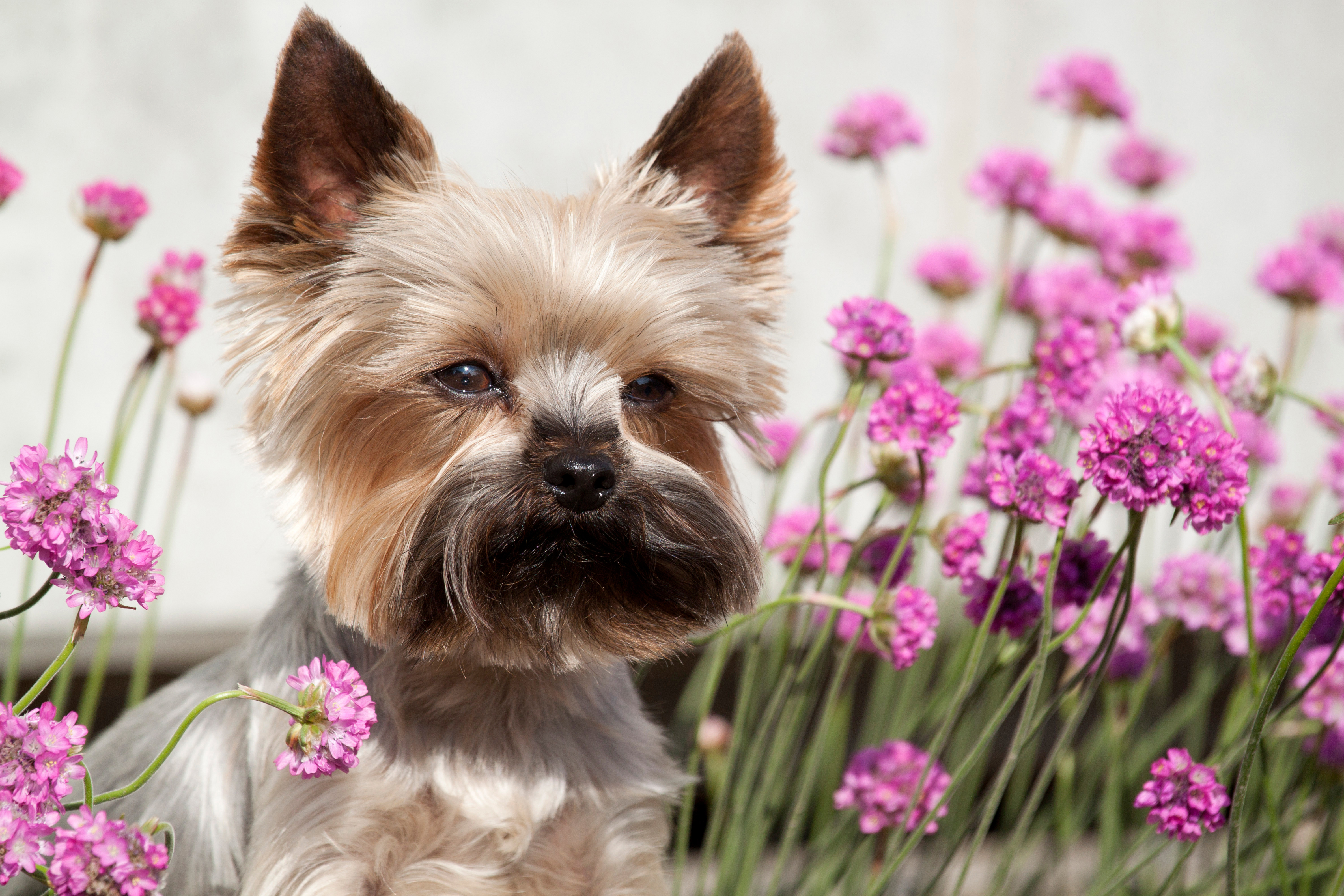 Portrait of cute Yorkshire Terrier in th