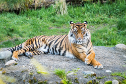 tacoma tiger_1